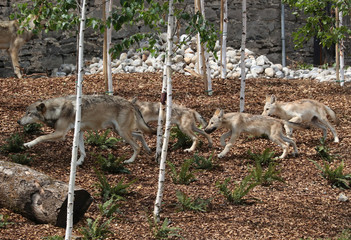 Wolf pups and a wolf that were just released to be visible for the visitors are pictured at the Pairi Daiza wildlife park in Brugelette