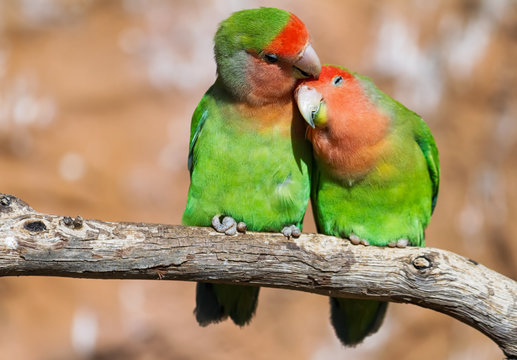 Moment of tenderness between a pair of parrots