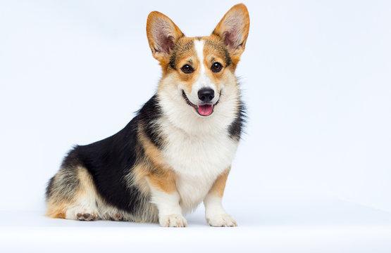 adult welsh corgi breed dog sitting full growth on a white background