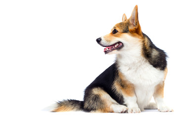 Wall Mural - Welsh Corgi adult dog sitting sideways in full growth on a white background