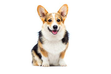welsh corgi breed dog sitting on a white background