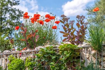 Papaver nudicaule 'Gartenzwerg' und Sedum telephium 'Purple Empereor' auf einer bepflanzten Gabione