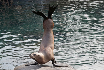 A Steller sea lion is seen at the Pairi Daiza wildlife park, a zoo and botanical garden in Brugelette