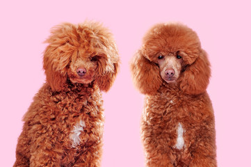 Comparison of poodle before and after grooming at the pink background