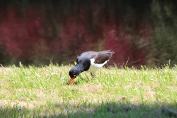 Oystercatcher searching for insects on grass strip on the side of the road