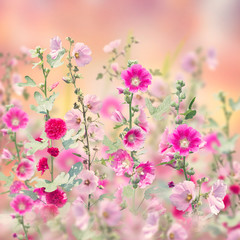 Malwy kwitnące w ogrodzie