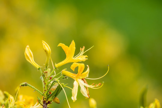 Yellow jasmine flowers on a green background