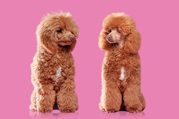 Comparison of poodle before and after grooming against pink background