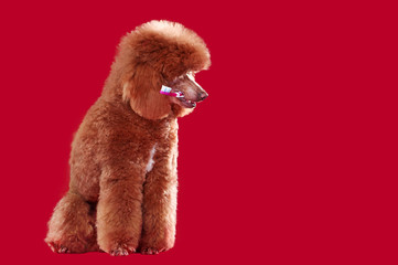 Poodle holding tooth brush in teeth against red background