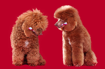 Poodle with a tooth brush before and after grooming