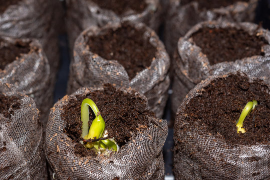 Sprouting bean in row of seed starters