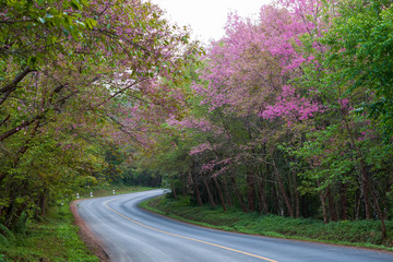 Beautiful of pink flowers, wild Himalayan cherry blossom beside the road on Doi Ang Khang, Thailand.
