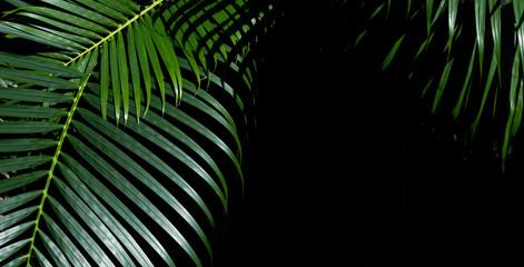 Greenery tropical palm leaf  over dark background