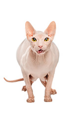 Fat predator Sphynx hairless cat posing on a white background