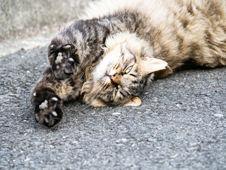 Japanese stray cat on a farm road 3