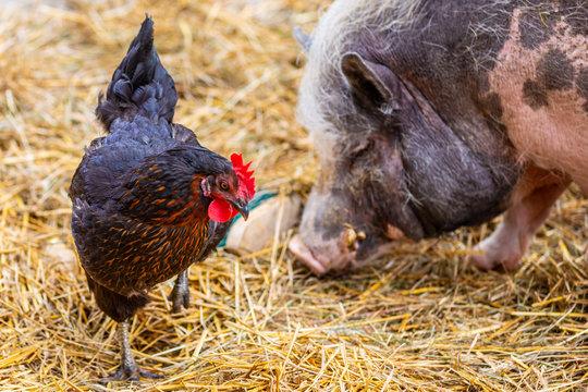 Am Bauernhof - Huhn und Schwein