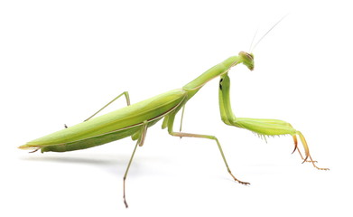 European Mantis or Praying Mantis, isolated on white Wall mural
