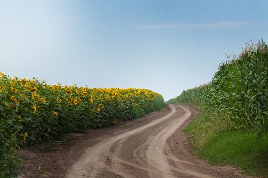 countryside road with tyre tracks between fields of sunflower and maize corn blooming on a sunny summer day, panorama farming landscape background
