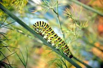 caterpillar of a swallowtail Papilio machaon on fresh green fragrant dill Anethum graveolens in the garden. Garden plant. Caterpillar feeding on dill. butterfly known as the common yellow swallowtail.