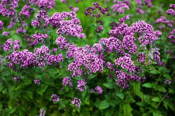 Fototapeta Fresh herbs and flowers  oregano in the garden obraz