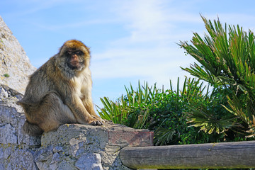 View of a wild Barbary Macaque monkey at the top of the Rock of Gibraltar