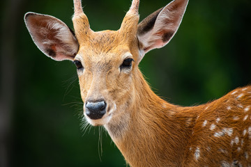 Closeup beautiful sika male deer or spotted deer isolated on blur background looking at camera and enjoy sunbathe on hot summer day.