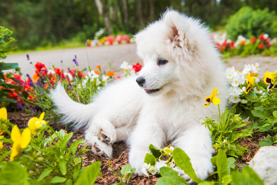 Funny Samoyed puppy dog in the garden on the green grass with flowers