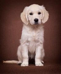 Fototapete - golden retriever puppy looking indoors