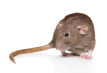 Dumbo rat sits on white background