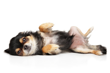 Cute Chihuahua dog resting