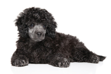 Toy poodle puppy lying on white background