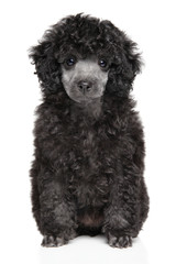 Toy Poodle puppy sits on white background