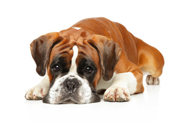 Sad German boxer dog lying