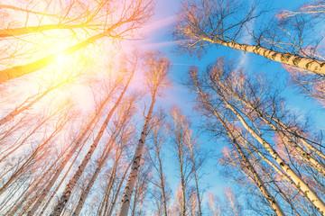 Photo sur Plexiglas Bosquet de bouleaux birch forest against the blue sky on a spring sunny day