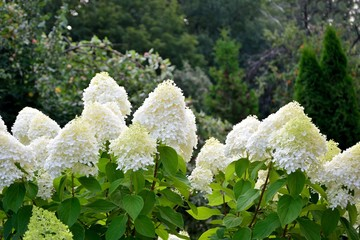 Stunning lush bush of white hydrangeas on the background of the garden