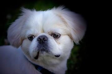 Photo sur Aluminium Animaux de Hipster Portrait small white young puppy pekinese