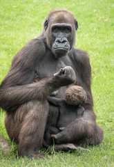 Western forest gorilla mother and baby