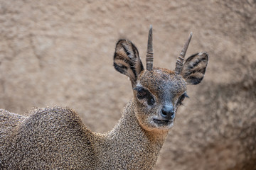 Klipspringer (Oreotragus oreotragus), a small sturdy antelope found in rocky terrain in eastern and southern Africa.