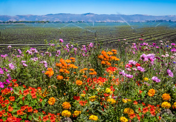 Colorful flowers are planted near a field of agricultural crops, as a field irrigation sprinkler system waters farmland in the Salinas Valley of central California, in Monterey County.  Wall mural