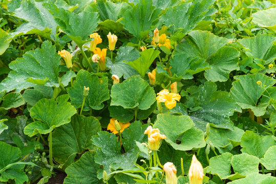 Zucchini flowers with leaves on a garden bed - rural background, concept of harvest ripening
