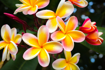 Foto op Plexiglas Frangipani Beautiful Tropical Flowers in Hawaii