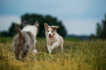Border collie puppys in a meadow Wall mural