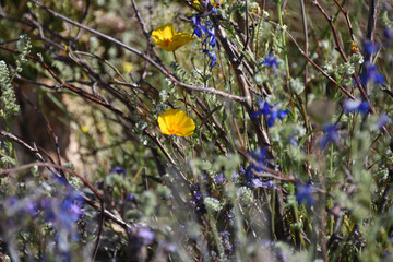 Blooming yellow and blue spring flowers in the Arizona desert