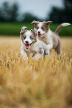 Running border collie puppies in a stubblefield