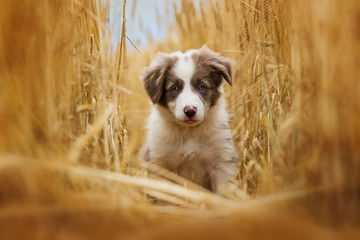Border collie puppy sitting in a stubblefield