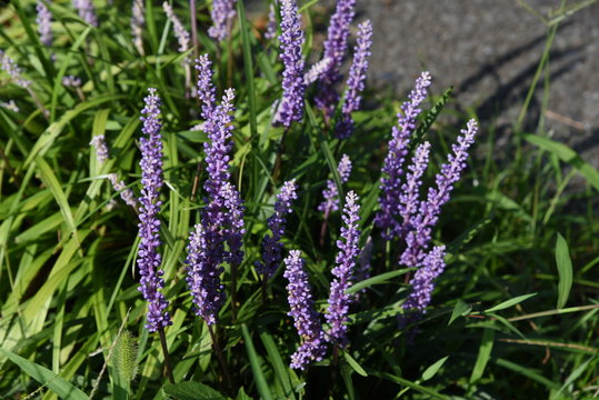Liriope muscari is a light purple flower that blooms in the shade of the garden from summer to autumn.