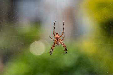 pająk krzyżak ogrodowy na pajęczynie