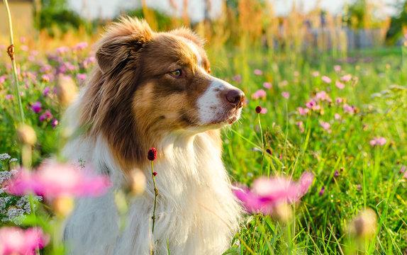 Curious australian shepherd lying on the meadow full of pink flowers
