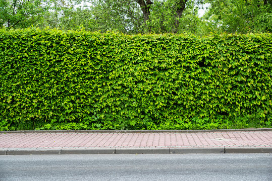green fence of trimmed bushes along the road