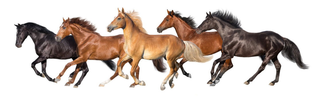 Herd of horses run gallop isolated on white